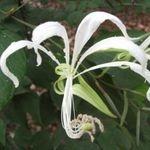 Bauhinia tarapotensis