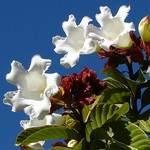 Beaumontia grandiflora