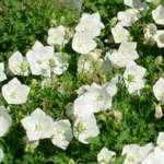 Campanula Carpatica Clips White