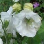 Campanula medium flore plena Double White
