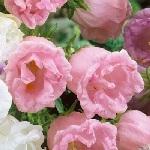 Campanula medium flore plena Double Pink