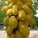 Carica papaya Golden Dwarf