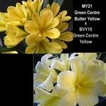 Clivia MY21 GC Yellow x BYVY10 GC Yellow