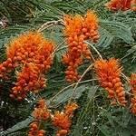 Colvillea racemosa