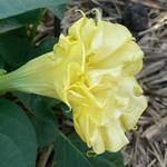 Datura Golden Queen