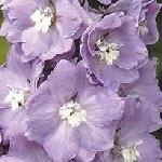 Delphinium Pacific Magic Fountains Lavender