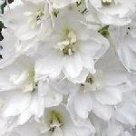 Delphinium Pacific Magic Fountains Pure White