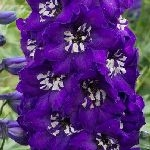 Delphinium Pacific Magic Fountains Dark Blue White Bee