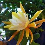 Epiphyllum angulier