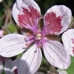 Erodium pelargoniiflorum