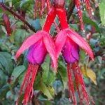 Fuchsia magellanica var. magellanica
