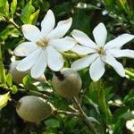 Gardenia thunbergia