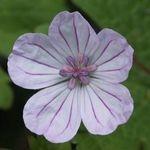 Geranium albanum