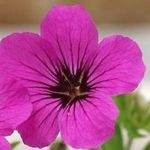 Geranium macrorrhizum Czakori