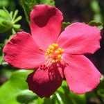 Hibiscus ferrugineus