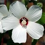 Hibiscus lasiocarpos