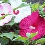 Hibiscus moscheutos Disco Belle