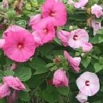 Hibiscus moscheutos mix