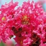 Lagerstroemia indica Dark Pink