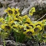 Mandragora caulescens yellow