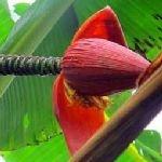 Musa arunachalensis