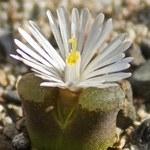 Ophthalmophyllum verruculosum white