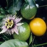 Passiflora flavicarpa