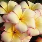 Plumeria Angug Cream