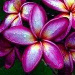 Plumeria Deep Purple