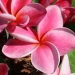 Plumeria Elsie