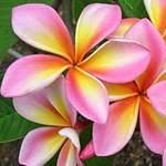 Plumeria Marinos Rainbow
