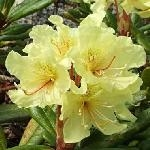Rhododendron aureum
