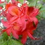 Rhododendron cumberlandense