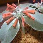 Sinningia hybrid red flowers