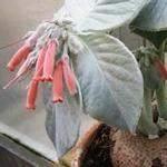 Sinningia leucotricha Rechsteineria