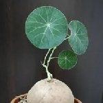 Stephania erecta 4 см