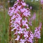 Stylidium graminifolium