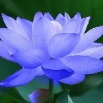 Лотос Blue