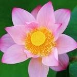 Лотос Flame Pink Cute