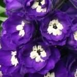 Дельфиниум NZ Purple Passion