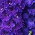 Дельфиниум NZ Pagan Purples