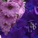 Дельфиниум NZ Purple or Pink