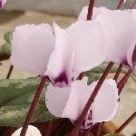 Цикламен косский бело-розовый