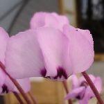 Цикламен косский бледно-розовый