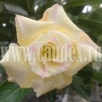 Adenium Obesum Golden Siam