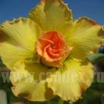Adenium Obesum Lucky Yellow