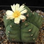 Astrophytum myriostigma KIKO nudum