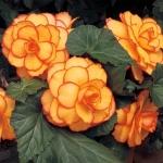 Begonia Dubbel Picotee