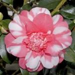 Camellia japonica CV. Chandlers Elegance