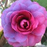 Camellia japonica Purple